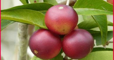 Nueva variedad de camu camu contiene alta dosis