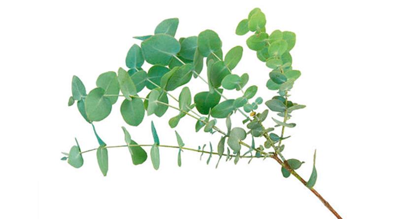 El eucalipto previene y elimina